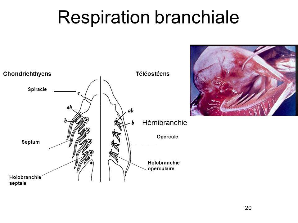 Respiration branchiale 20 TéléostéensChondrichthyens Opercule Holobranchie operculaire Holobranchie septale Septum Spiracle Hémibranchie