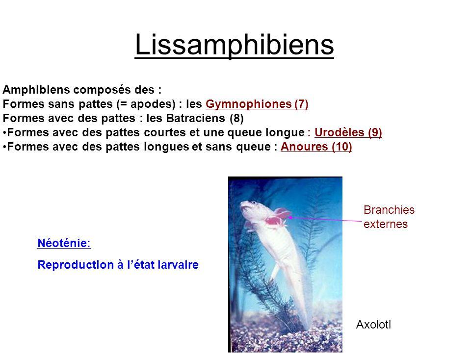 Lissamphibiens Amphibiens composés des : Formes sans pattes (= apodes) : les Gymnophiones (7) Formes avec des pattes : les Batraciens (8) Formes avec