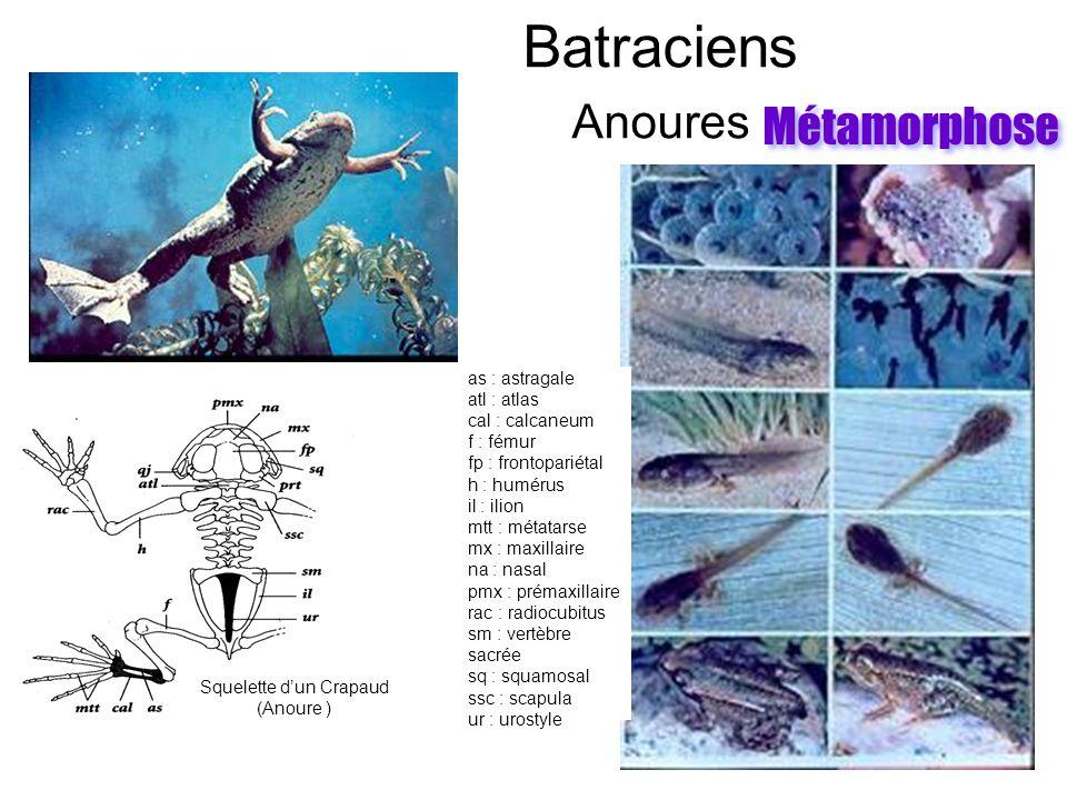 Batraciens Anoures as : astragale atl : atlas cal : calcaneum f : fémur fp : frontopariétal h : humérus il : ilion mtt : métatarse mx : maxillaire na