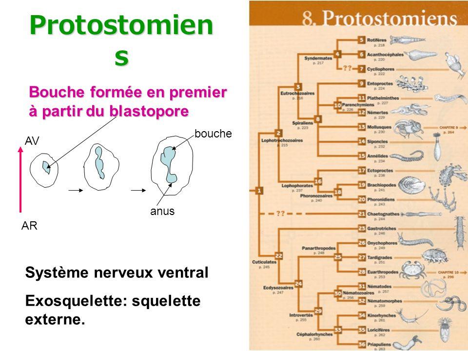 Protostomien s Bouche formée en premier à partir du blastopore bouche anus AR AV Système nerveux ventral Exosquelette: squelette externe.