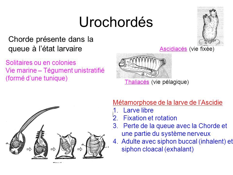 Urochordés Chorde présente dans la queue à l'état larvaire Solitaires ou en colonies Vie marine – Tégument unistratifié (formé d'une tunique) Métamorp
