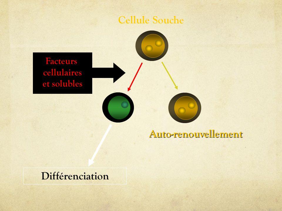 Cellule Souche Auto-renouvellement Différenciation Facteurs cellulaires et solubles