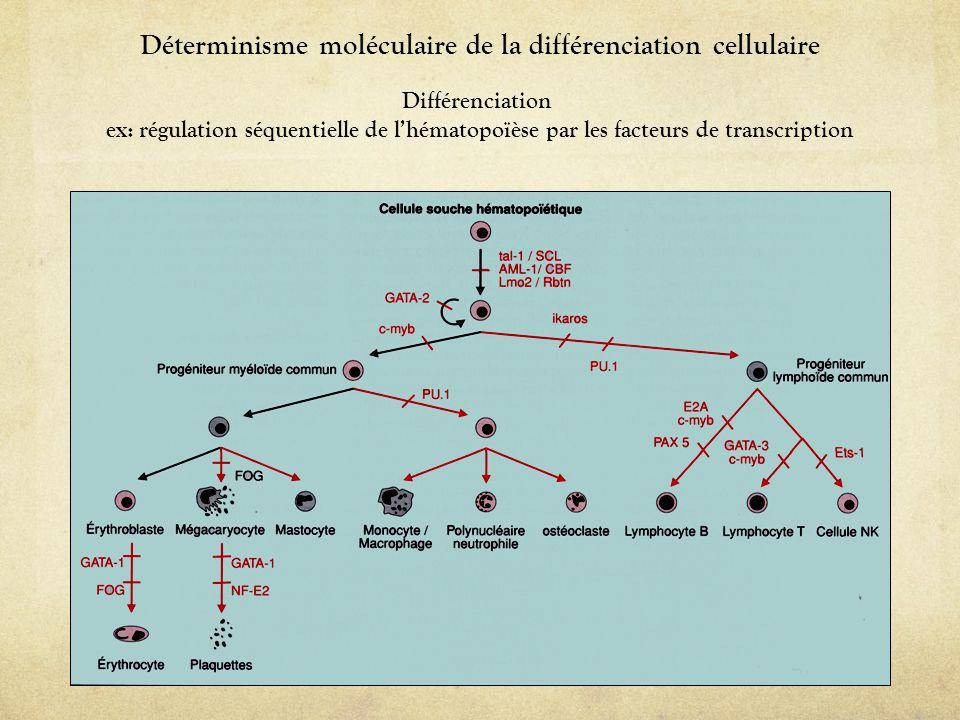 Déterminisme moléculaire de la différenciation cellulaire Différenciation ex: régulation séquentielle de l'hématopoïèse par les facteurs de transcript