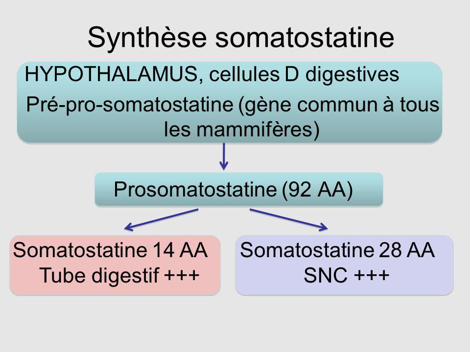 Synthèse somatostatine HYPOTHALAMUS, cellules D digestives Pré-pro-somatostatine (gène commun à tous les mammifères) Prosomatostatine (92 AA) Somatost