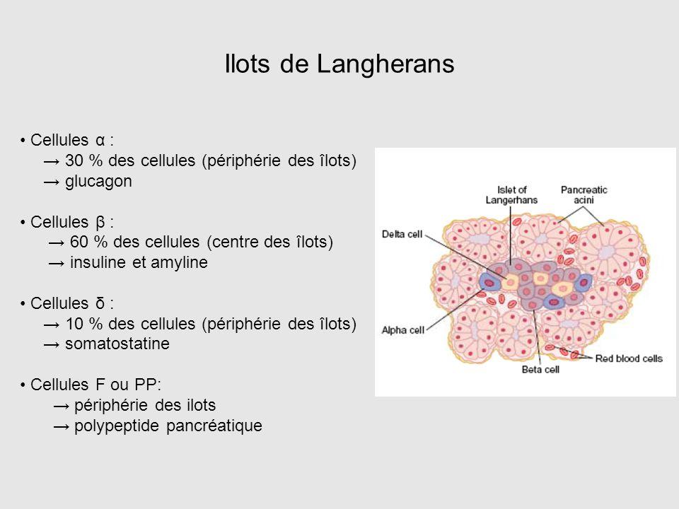 Ilots de Langherans Cellules α : → 30 % des cellules (périphérie des îlots) → glucagon Cellules β : → 60 % des cellules (centre des îlots) → insuline