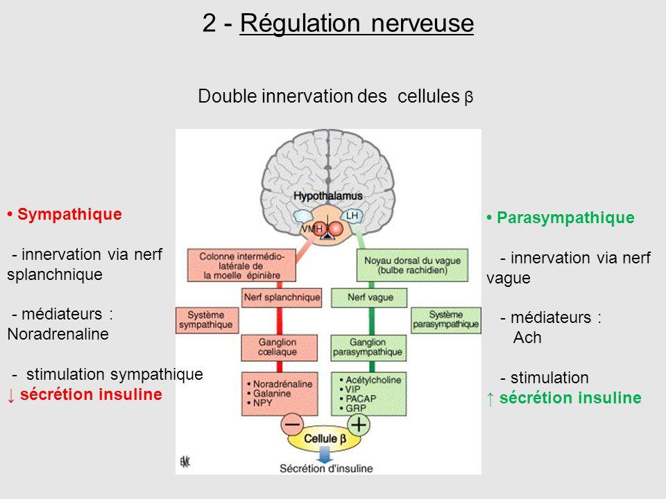 2 - Régulation nerveuse Sympathique - innervation via nerf splanchnique - médiateurs : Noradrenaline - stimulation sympathique ↓ sécrétion insuline Pa