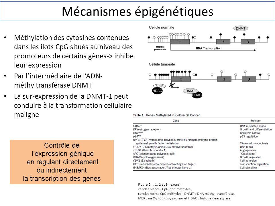 Méthylation des cytosines contenues dans les ilots CpG situés au niveau des promoteurs de certains gènes-> inhibe leur expression Par l'intermédiaire