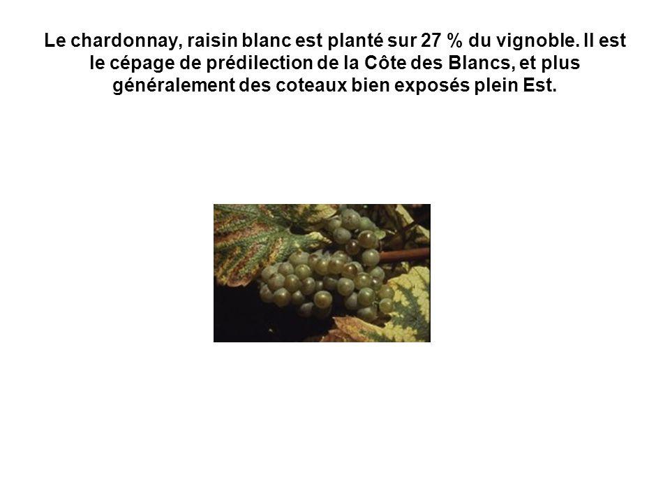 Le chardonnay, raisin blanc est planté sur 27 % du vignoble. Il est le cépage de prédilection de la Côte des Blancs, et plus généralement des coteaux