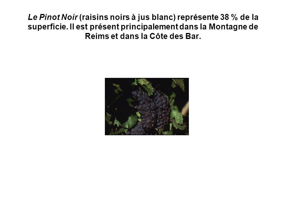 Le Pinot Noir (raisins noirs à jus blanc) représente 38 % de la superficie. Il est présent principalement dans la Montagne de Reims et dans la Côte de