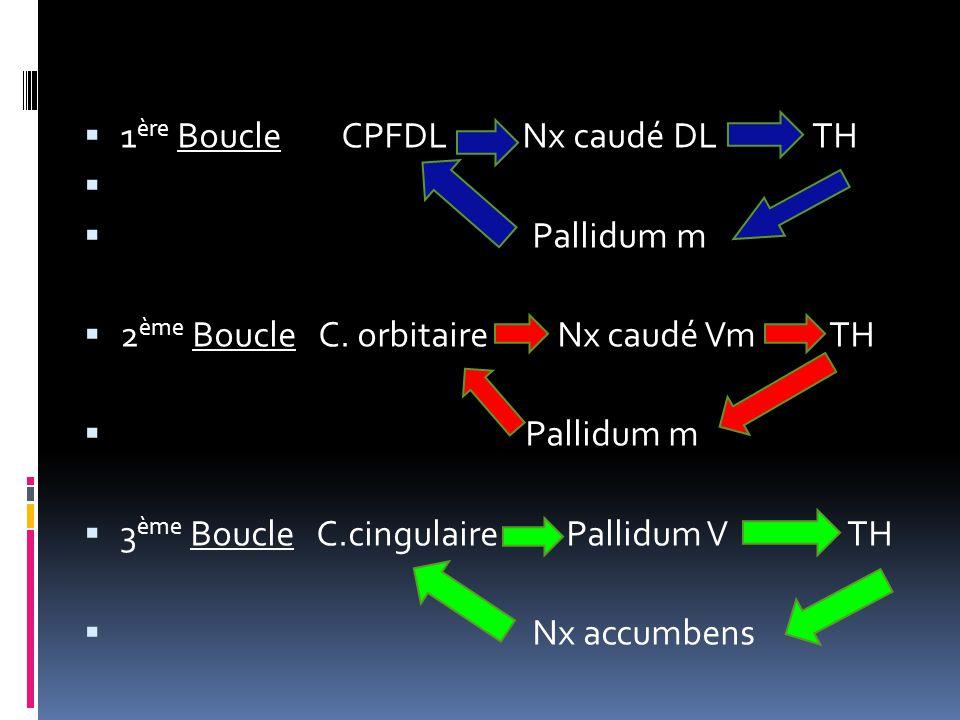  1 ère Boucle CPFDL Nx caudé DL TH   Pallidum m  2 ème Boucle C. orbitaire Nx caudé Vm TH  Pallidum m  3 ème Boucle C.cingulaire Pallidum V TH 