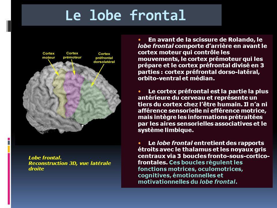 Le lobe frontal Lobe frontal. Reconstruction 3D, vue latérale droite En avant de la scissure de Rolando, le lobe frontal comporte d'arrière en avant l