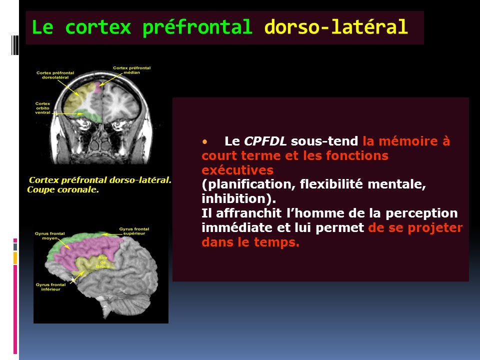 Le cortex préfrontal dorso-latéral Cortex préfrontal dorso-latéral. Coupe coronale. 2 atéral. D. Habon (CHU Pitié-Salpêtrière) Le CPFDL sous-tend la m