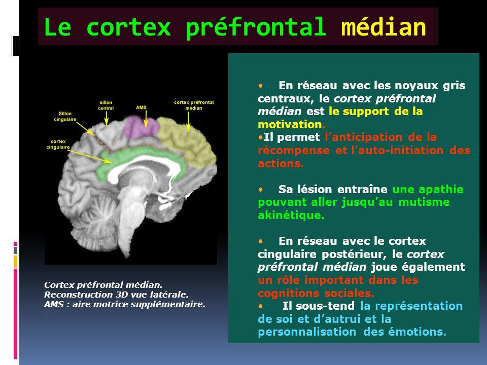 Le cortex préfrontal médian Cortex préfrontal médian. Reconstruction 3D vue latérale. AMS : aire motrice supplémentaire. ) En réseau avec les noyaux g