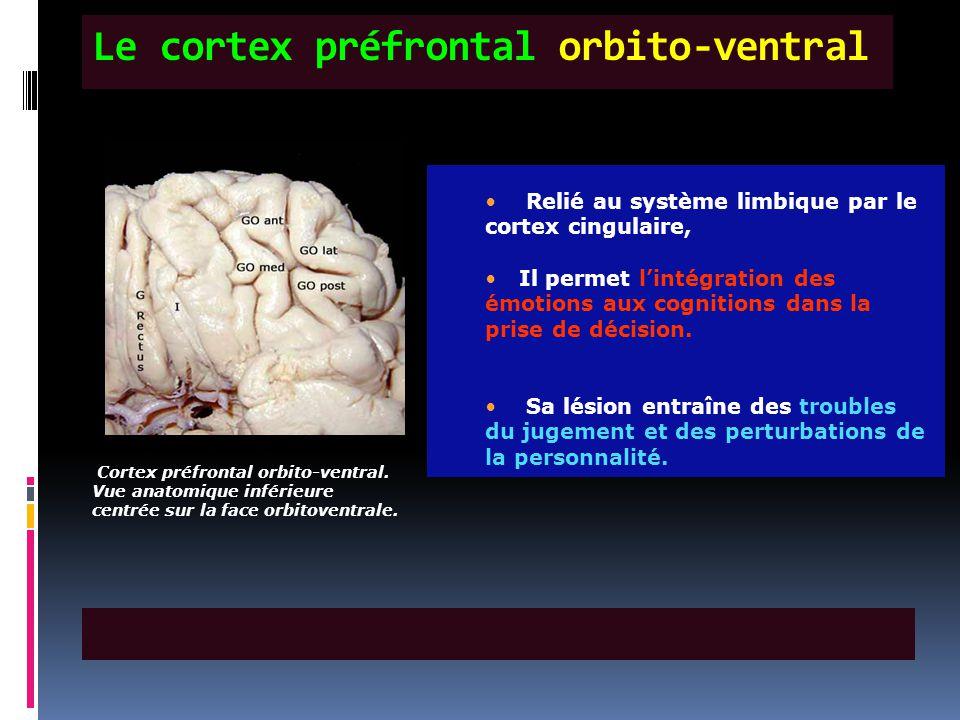 Le cortex préfrontal orbito-ventral Cortex préfrontal orbito-ventral. Vue anatomique inférieure centrée sur la face orbitoventrale. Relié au système l