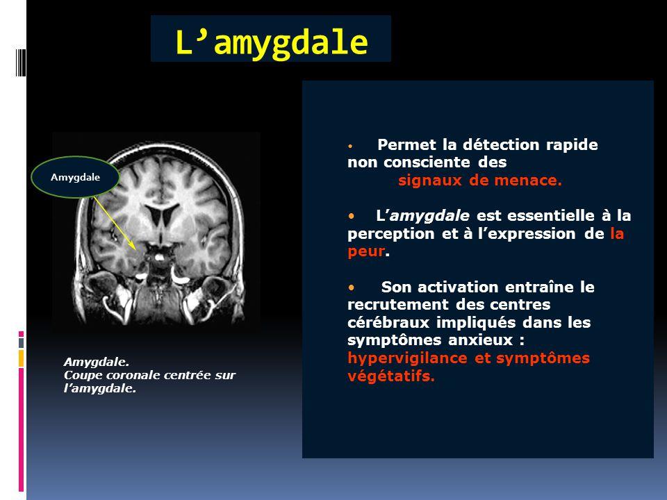 L'amygdale Amygdale. Coupe coronale centrée sur l'amygdale. Permet la détection rapide non consciente des signaux de menace. L'amygdale est essentiell