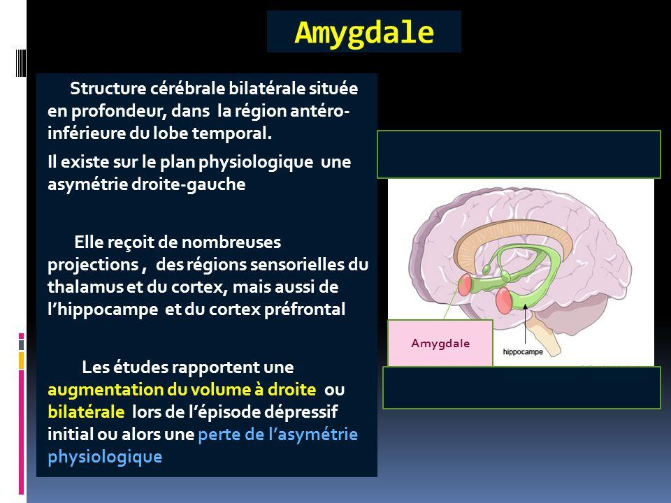 Structure cérébrale bilatérale située en profondeur, dans la région antéro- inférieure du lobe temporal. Il existe sur le plan physiologique une asymé