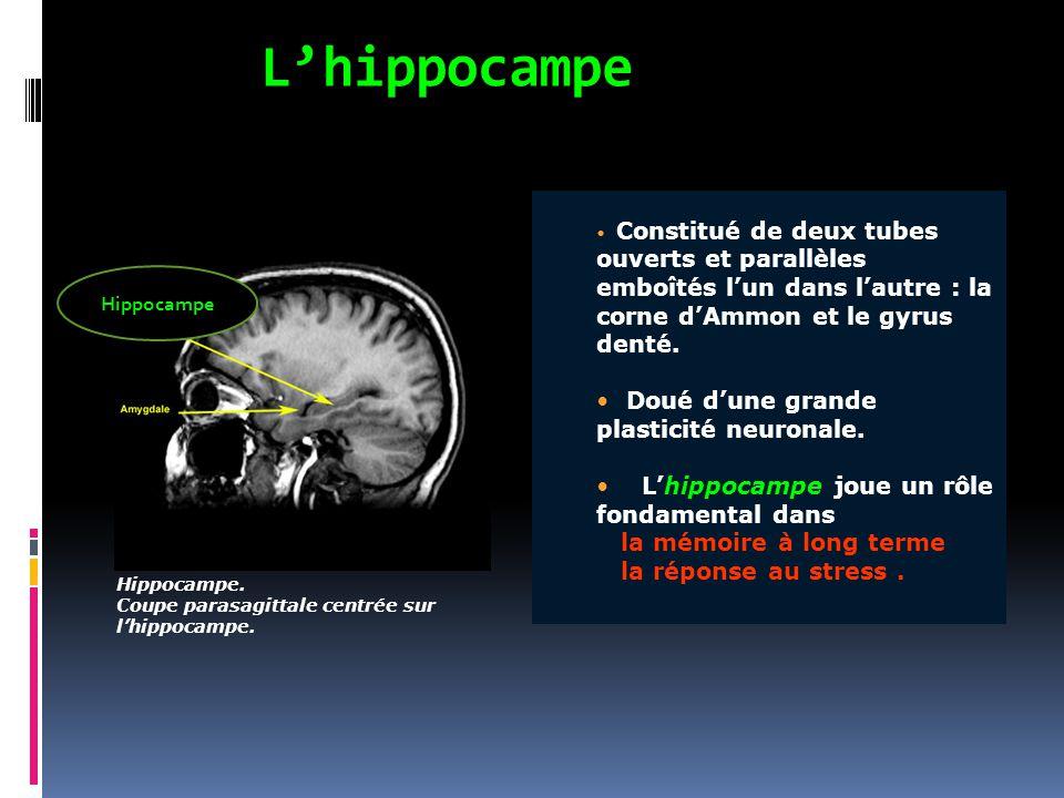 L'hippocampe Hippocampe. Coupe parasagittale centrée sur l'hippocampe. Constitué de deux tubes ouverts et parallèles emboîtés l'un dans l'autre : la c