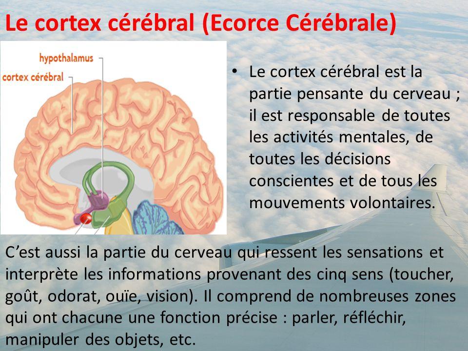 Le cortex cérébral est la partie pensante du cerveau ; il est responsable de toutes les activités mentales, de toutes les décisions conscientes et de