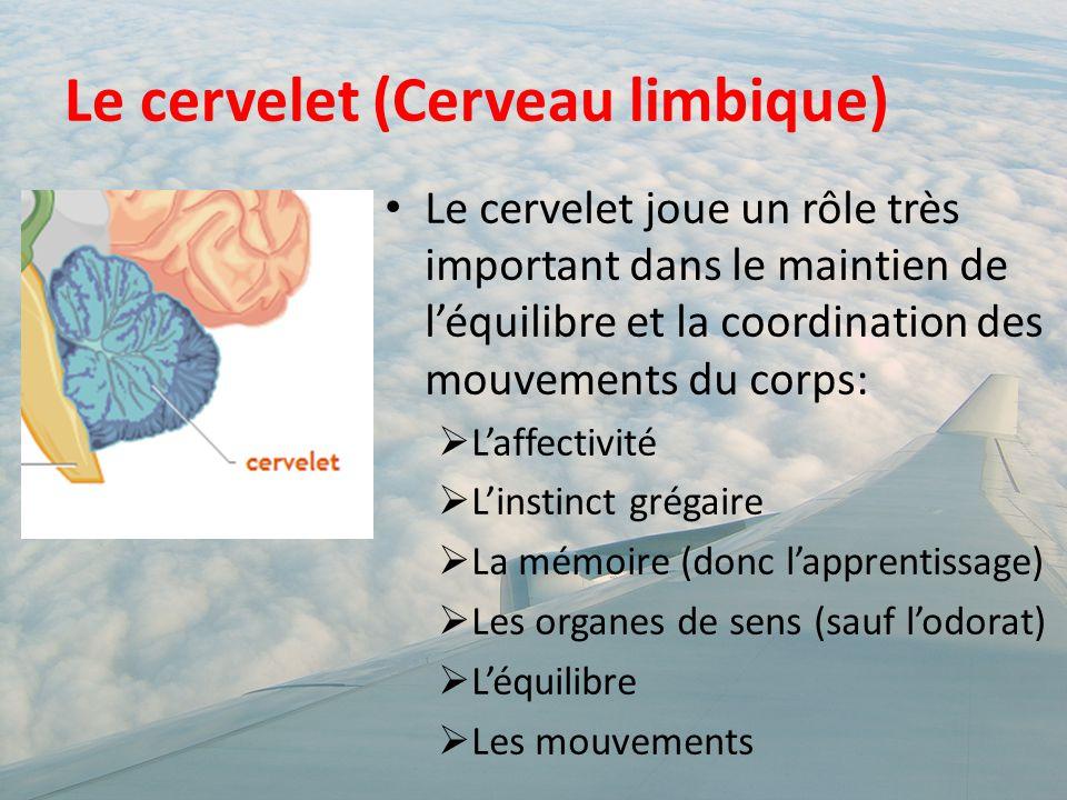Le cervelet (Cerveau limbique) Le cervelet joue un rôle très important dans le maintien de l'équilibre et la coordination des mouvements du corps:  L