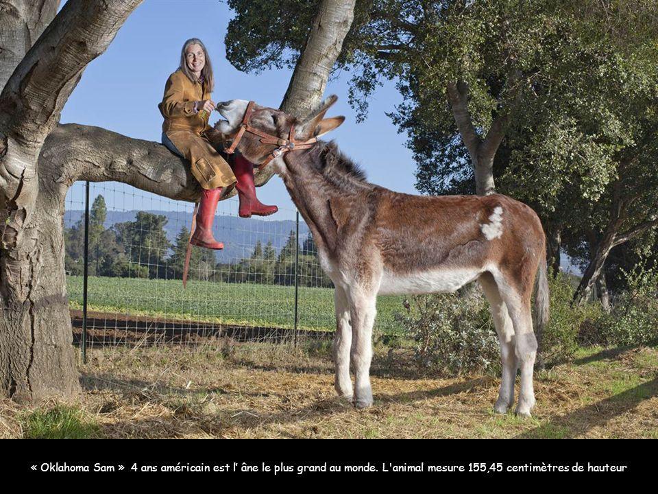 Zeus, le plus grand chien du monde qui engloutit 14 kilos de viande par jour Image: AFP « Oklahoma Sam » 4 ans américain est l' âne le plus grand au m