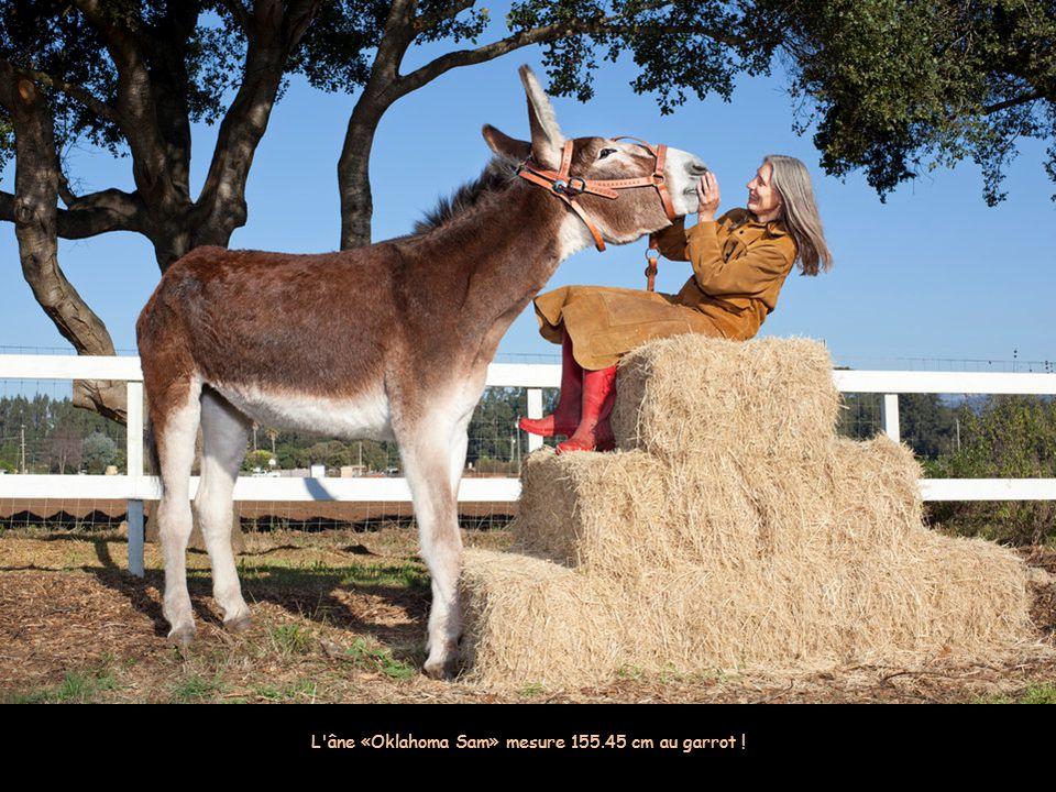 Zeus, le plus grand chien du monde qui engloutit 14 kilos de viande par jour Image: AFP L'âne «Oklahoma Sam» mesure 155.45 cm au garrot !