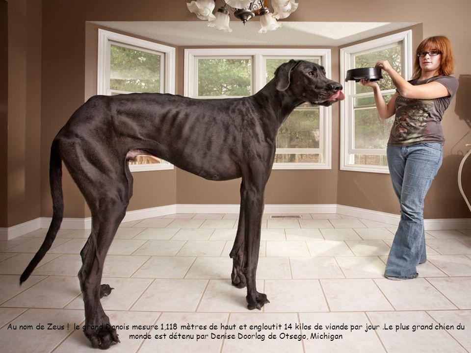 Au nom de Zeus ! le grand Danois mesure 1,118 mètres de haut et engloutit 14 kilos de viande par jour.Le plus grand chien du monde est détenu par Deni