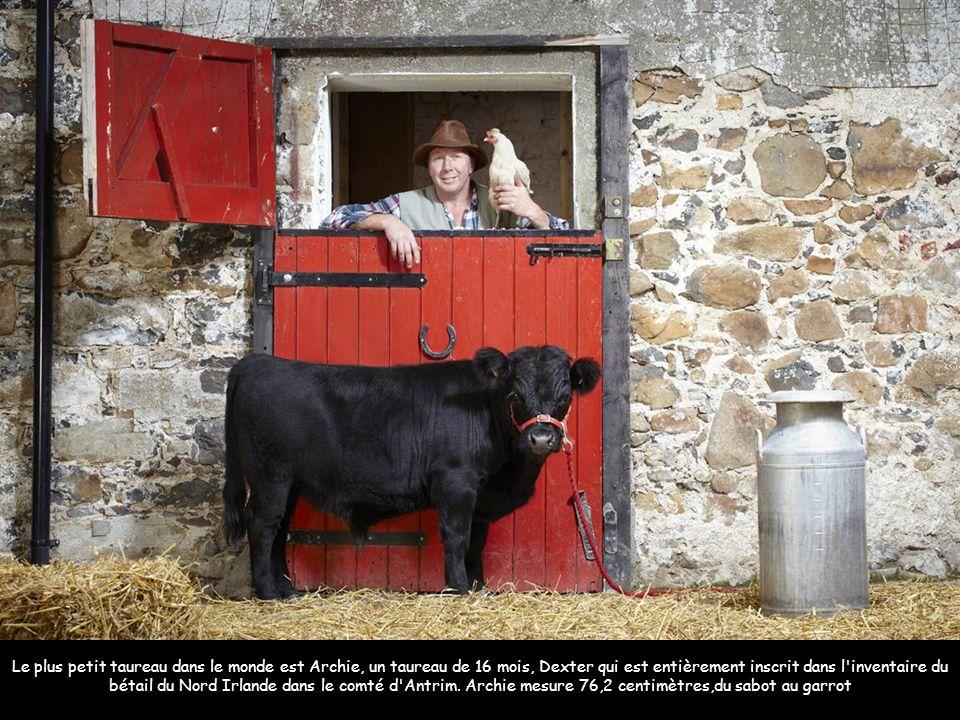 Le plus petit taureau dans le monde est Archie, un taureau de 16 mois, Dexter qui est entièrement inscrit dans l'inventaire du bétail du Nord Irlande