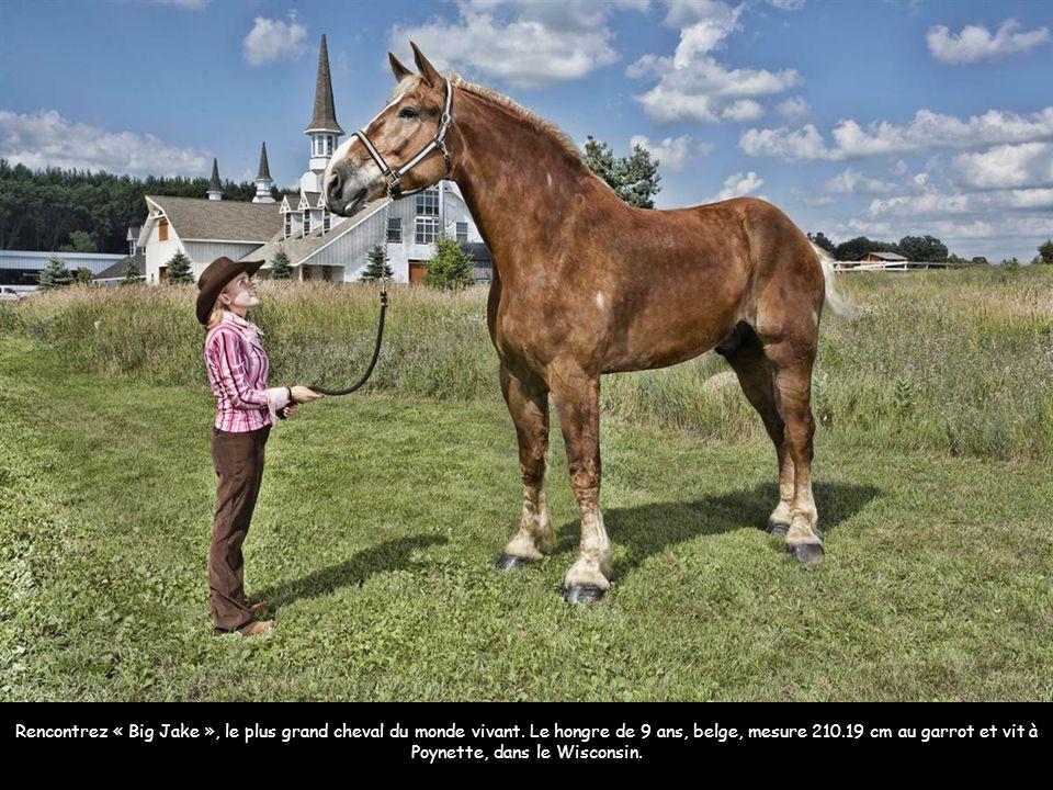 Zeus, le plus grand chien du monde qui engloutit 14 kilos de viande par jour Image: AFP Rencontrez « Big Jake », le plus grand cheval du monde vivant.
