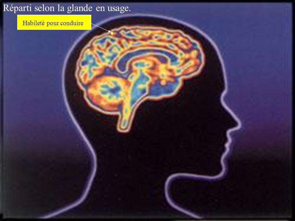 Cerveau Feminin. Voici le résultat de grandes études exhaustives Pour mieux connaître la masse cérébrale et ses divisions En rapport avec l'usage qui