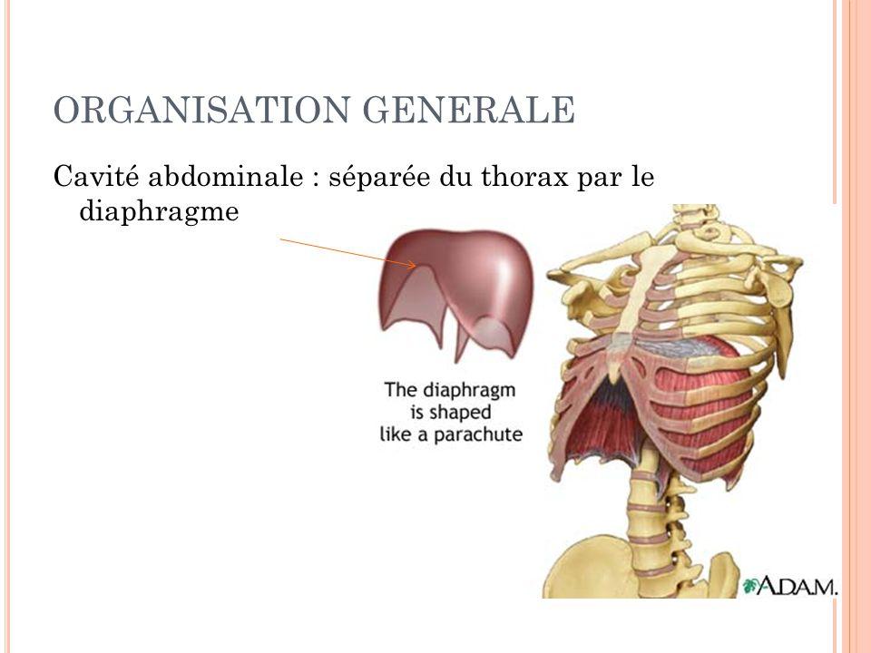 ORGANISATION GENERALE Cavité abdominale : séparée du thorax par le diaphragme 11