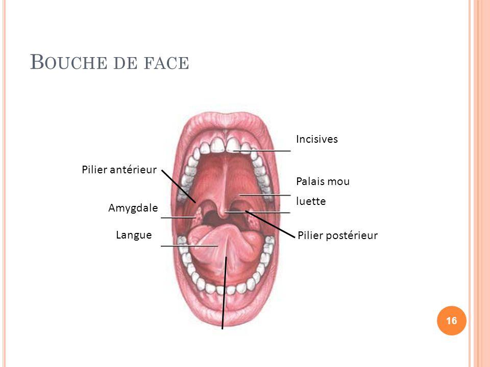 B OUCHE DE FACE Incisives Amygdale Palais mou luette Langue Frein de la langue Pilier antérieur Pilier postérieur 16