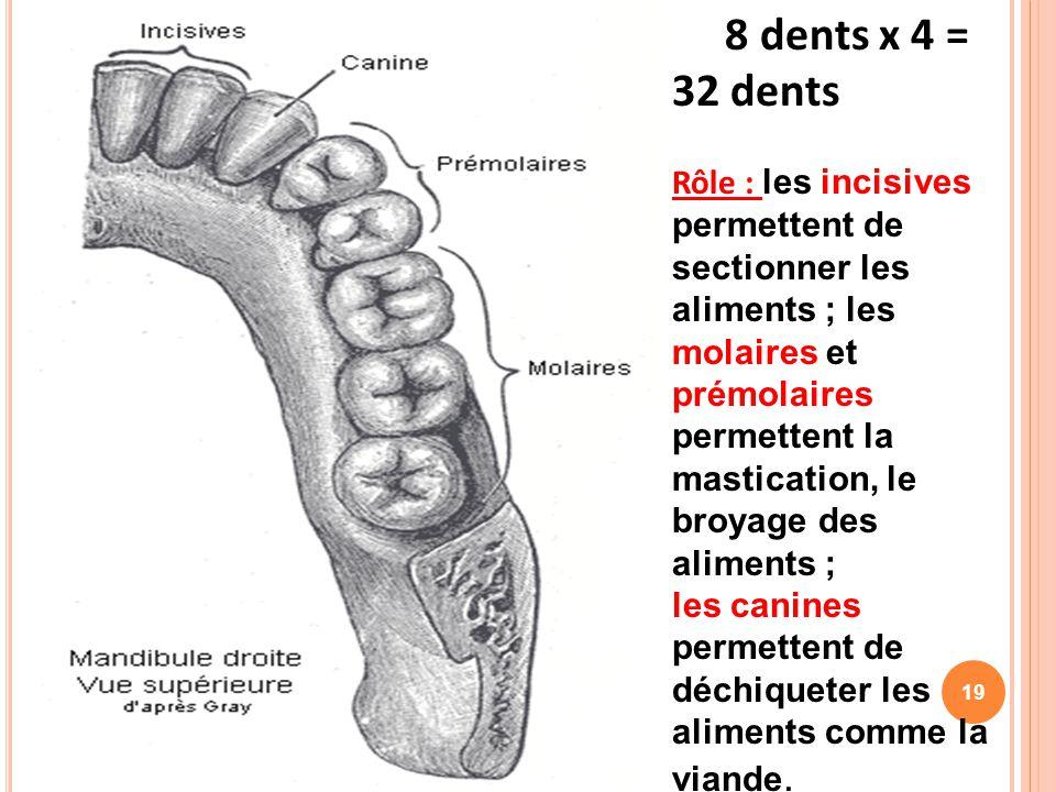 8 dents x 4 = 32 dents Rôle : les incisives permettent de sectionner les aliments ; les molaires et prémolaires permettent la mastication, le broyage