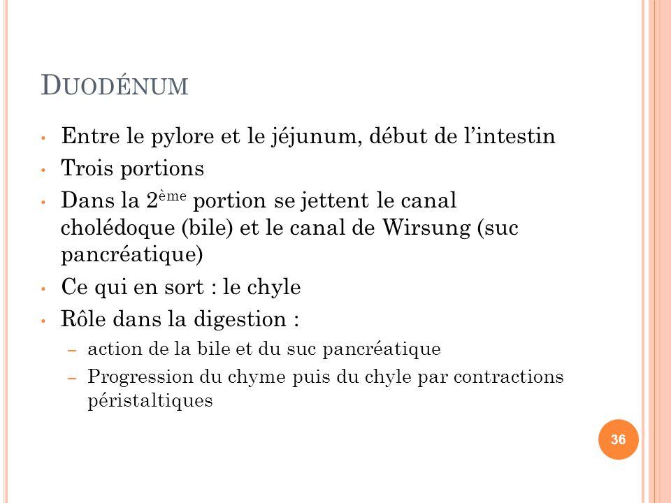 D UODÉNUM Entre le pylore et le jéjunum, début de l'intestin Trois portions Dans la 2 ème portion se jettent le canal cholédoque (bile) et le canal de