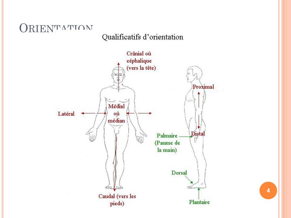 BOUCHE : COUPE SAGITTALE Sinus frontal pharynx Langue Palais osseux Larynx Palais mou oesophage choanes épiglott e 15