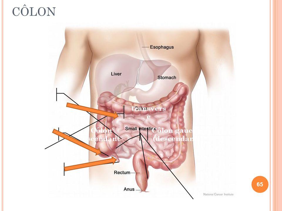 CÔLON Caecum Appendice Iléon transvers e Côlon gauche (descendant) Côlon ascendant 65