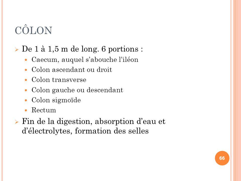 CÔLON  De 1 à 1,5 m de long. 6 portions : Caecum, auquel s'abouche l'iléon Colon ascendant ou droit Colon transverse Colon gauche ou descendant Colon