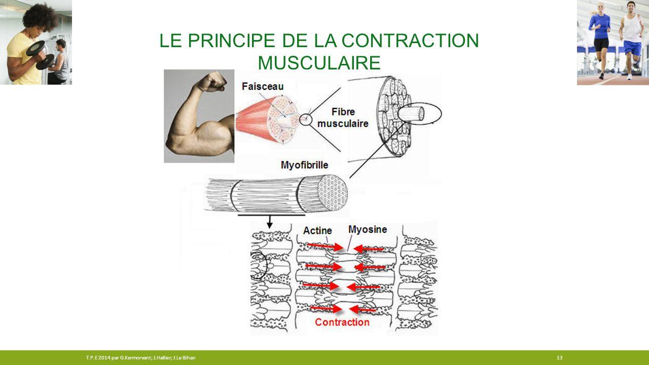 LE PRINCIPE DE LA CONTRACTION MUSCULAIRE 13T.P.E 2014 par G.Kermorvant; J.Hallier; J.Le Bihan