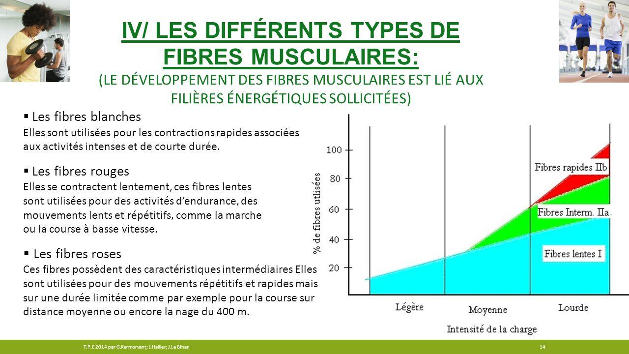 IV/ LES DIFFÉRENTS TYPES DE FIBRES MUSCULAIRES: (LE DÉVELOPPEMENT DES FIBRES MUSCULAIRES EST LIÉ AUX FILIÈRES ÉNERGÉTIQUES SOLLICITÉES)  Les fibres b