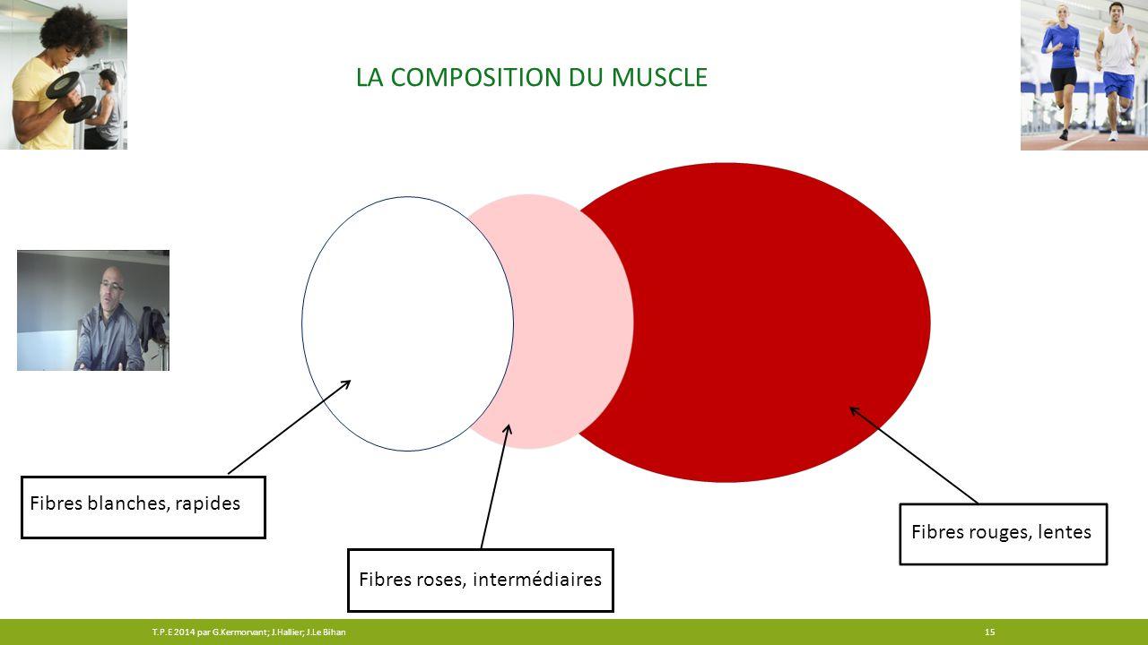 LA COMPOSITION DU MUSCLE Fibres blanches, rapides Fibres roses, intermédiaires Fibres rouges, lentes 15T.P.E 2014 par G.Kermorvant; J.Hallier; J.Le Bi