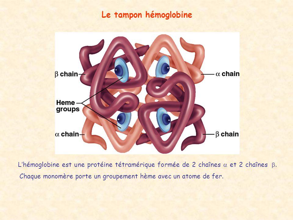 Le tampon hémoglobine L'hémoglobine est une protéine tétramérique formée de 2 chaînes  et 2 chaînes .  Chaque monomère porte un groupement hème av
