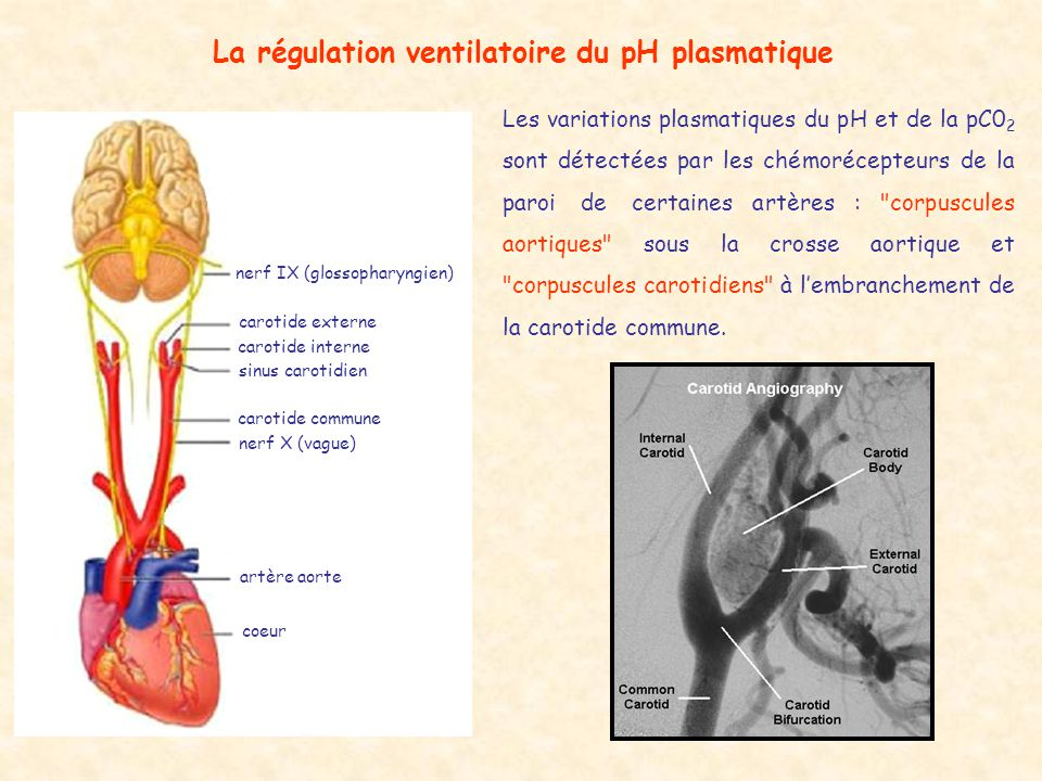 La régulation ventilatoire du pH plasmatique nerf IX (glossopharyngien) carotide externe carotide interne sinus carotidien carotide commune nerf X (va