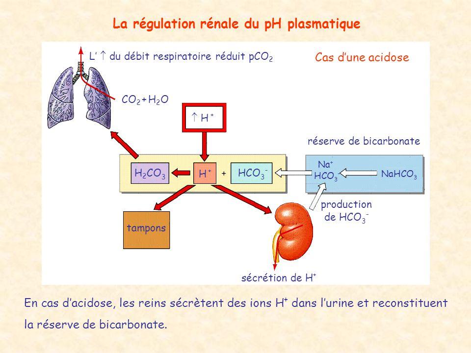 La régulation rénale du pH plasmatique L'  du débit respiratoire réduit pCO 2 CO 2 + H 2 O  H + H +H + HCO 3 - H 2 CO 3 tampons sécrétion de H + pro