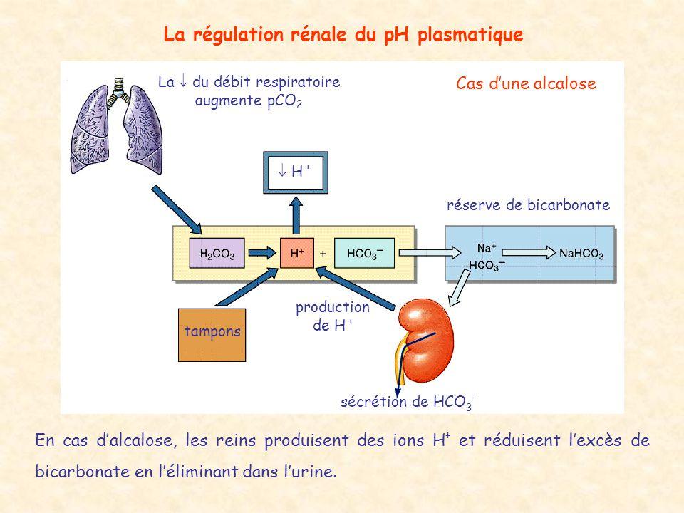 La régulation rénale du pH plasmatique  H + tampons sécrétion de HCO 3 - La  du débit respiratoire augmente pCO 2 production de H + Cas d'une alcalo