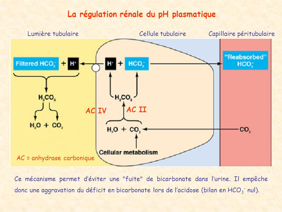 La régulation rénale du pH plasmatique Lumière tubulaireCellule tubulaireCapillaire péritubulaire AC II AC IV AC = anhydrase carbonique Ce mécanisme p