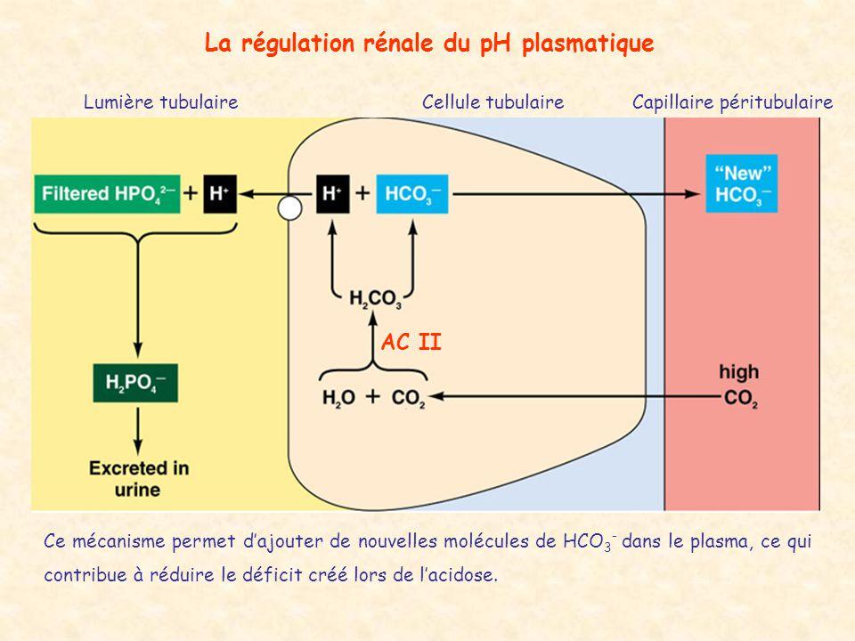 La régulation rénale du pH plasmatique Lumière tubulaireCellule tubulaireCapillaire péritubulaire AC II Ce mécanisme permet d'ajouter de nouvelles mol