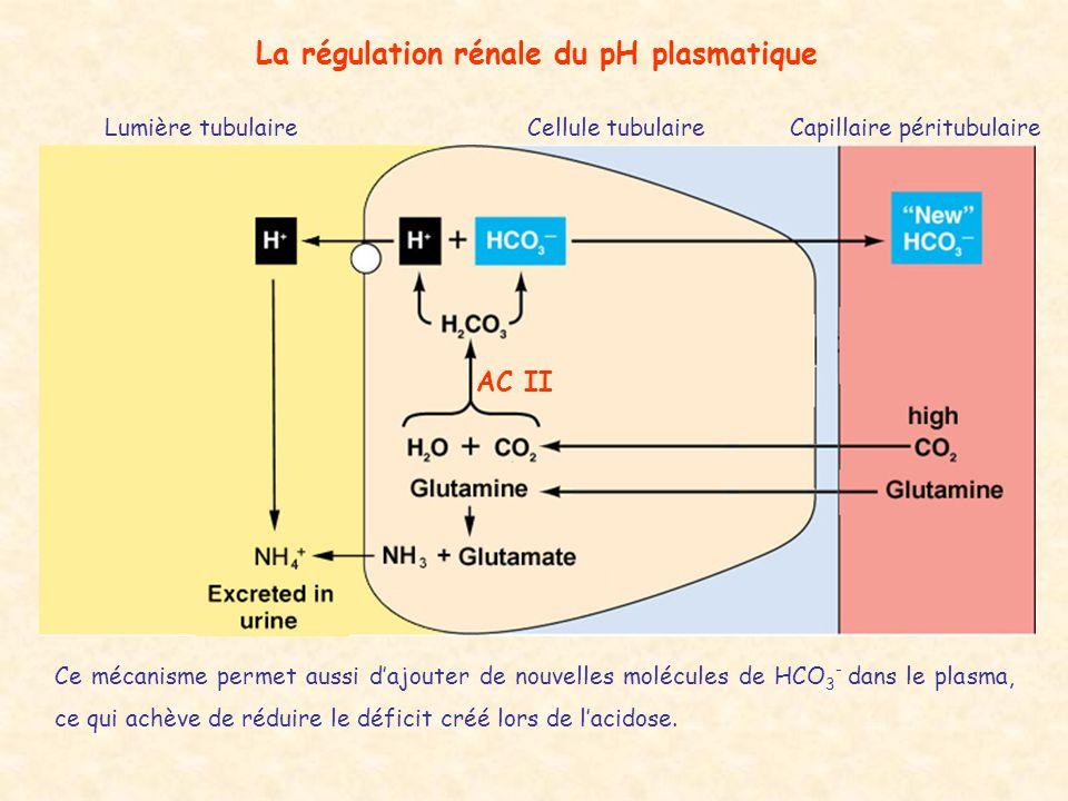 La régulation rénale du pH plasmatique Lumière tubulaireCellule tubulaireCapillaire péritubulaire AC II Ce mécanisme permet aussi d'ajouter de nouvell