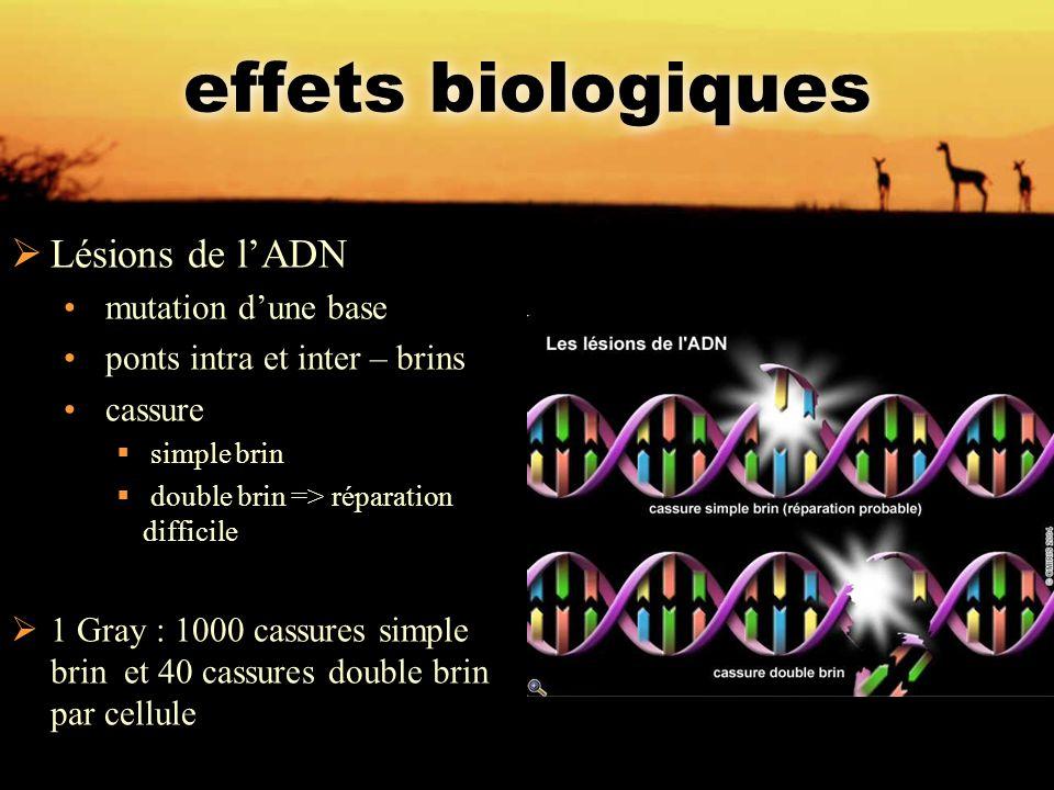 effets biologiques  Lésions de l'ADN mutation d'une base ponts intra et inter – brins cassure  simple brin  double brin => réparation difficile  1