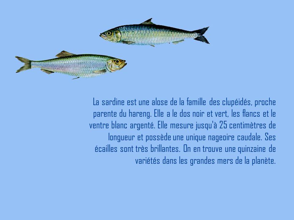 La sardine est une alose de la famille des clupéidés, proche parente du hareng. Elle a le dos noir et vert, les flancs et le ventre blanc argenté. Ell