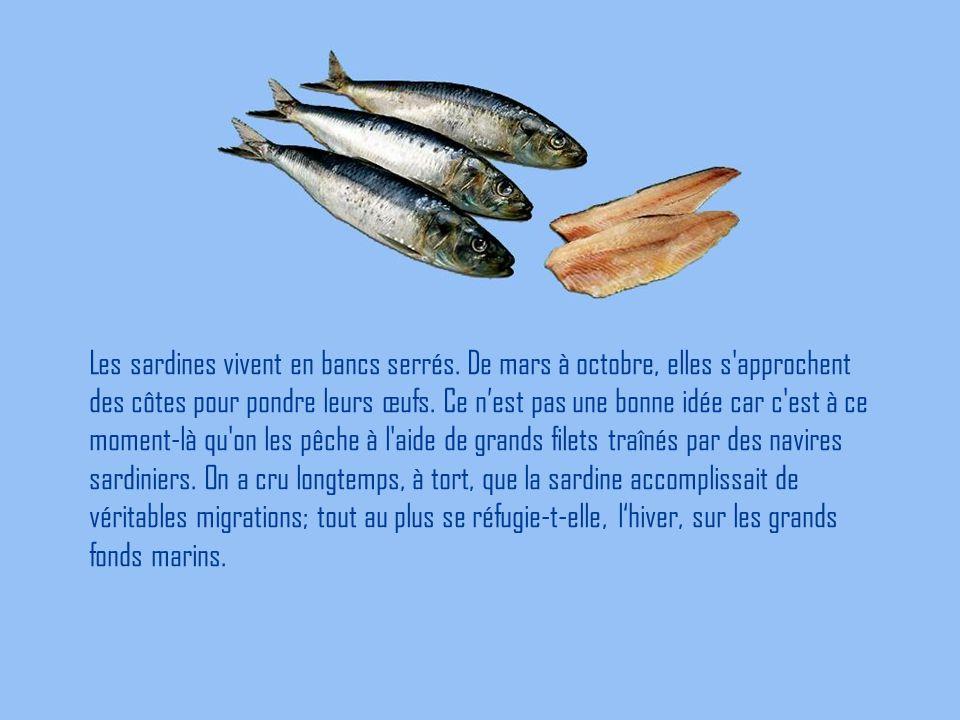Les sardines vivent en bancs serrés. De mars à octobre, elles s'approchent des côtes pour pondre leurs œufs. Ce n'est pas une bonne idée car c'est à c