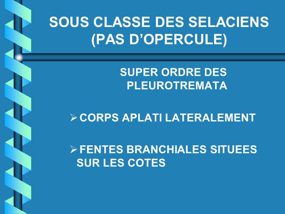 SOUS CLASSE DES SELACIENS (PAS D'OPERCULE) SUPER ORDRE DES PLEUROTREMATA   CORPS APLATI LATERALEMENT   FENTES BRANCHIALES SITUEES SUR LES COTES